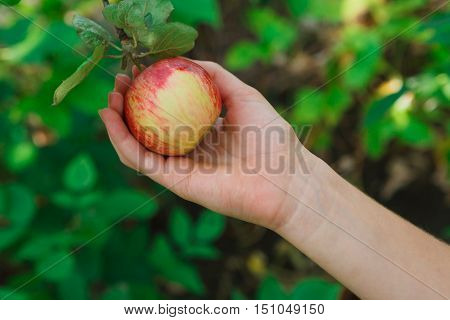 Child's hand pick red ripe apple on a tree branch. Closeup of fresh organic apple with green leaves. Autumn garden in village. Growing seasonal fruits, gather harvest at farm, agricultural concept