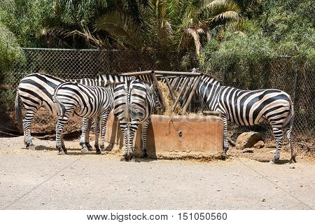 Zebra in a safari park on Feurteventura