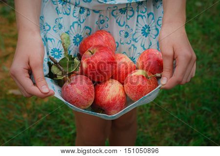 Girl holds apples in hemline. Child's hands pick red ripe apples in skirt on green grass background. Closeup of organic fruits. Autumn garden in village. Gather harvest at farm, agricultural concept