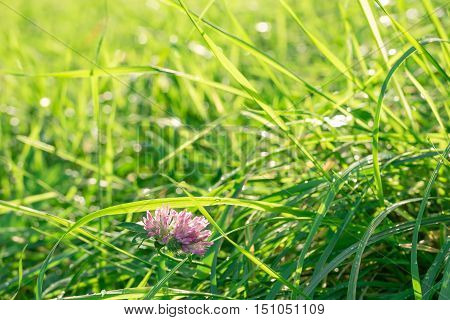 Green sunlit glade with single clover flower on it in the fresh dew