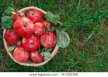 Wicker basket closeup full of red and yellow ripe autumn apples top view with copy space on green grass background. Seasonal fruit gathering, fall harvest in garden, agriculture and farming concept