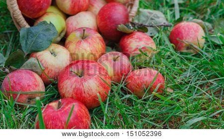 Red and yellow ripe autumn apples scattered on green grass background. Seasonal fruit gathering, fall harvest in apple garden, agriculture and farming concept