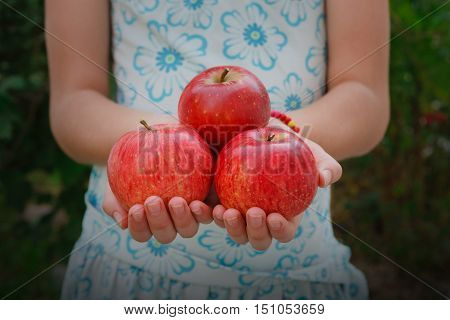 Unrecognizable girl holds apples in hands. Child's handful of red ripe apples in skirt on torso background. Closeup of organic fruits. Autumn garden, gather harvest at farm, agricultural concept