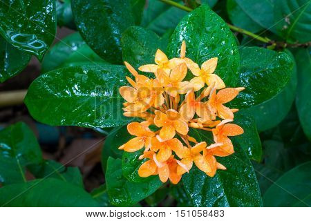 Orange Ixora with water drops after raining.