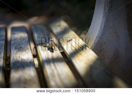 Lizard sunning itself in a small patch of sunshine amongst the shadows on a wooden park bench looking alertly at the camera