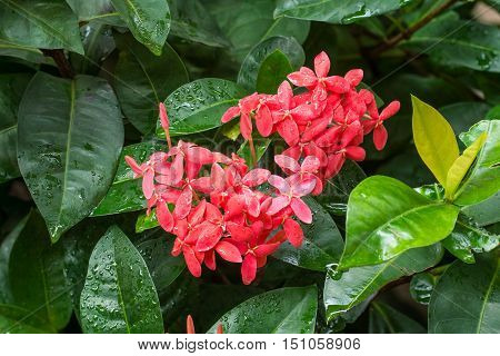 Deep Pink Ixora with water drops after raining.