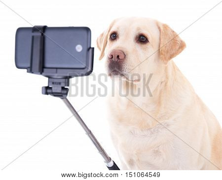 beautiful dog (golden retriever) taking selfie photo isolated on white background