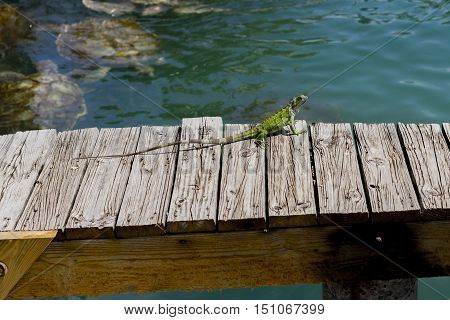 Green lizard on a wooden jetty above a marine pool with swimming turtles basking in the sunshine
