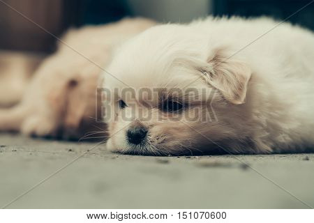 small dog puppy pet with beige fluffy plush fur and funny cute face laying on ground with black nose and little eyes