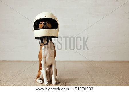 Sitting basenji dog wearing a huge white motorcycle helmet in a room with white walls and light wooden floors
