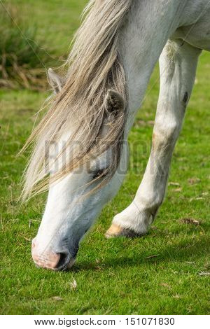 Close up of a wild welsh grey pony grazing. Gower South Wales UK