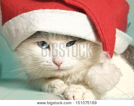 blue eyed tom cat close up portrait in christmas hat