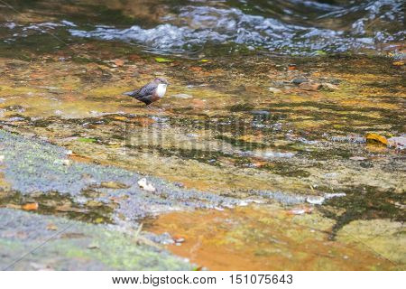 Very confiding white throated Dipper (Cinclus cinclus) hunting for larvae in fast flowing Welsh stream