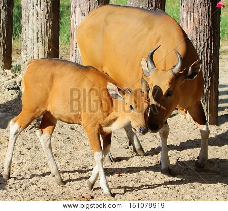 wild Asian cattle, banteng cow and calf touching noses at a zoo near Songkhla, Thailand