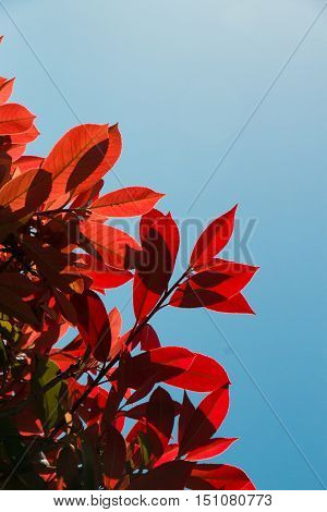 red leaf foreground in blue sky clear