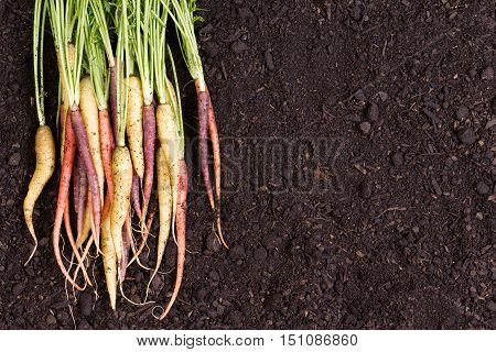 Healthy Bunch Of Multicolored Carrots