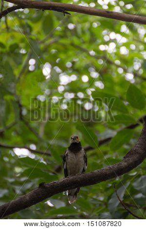 Bird (Black-collared starling Sturnus nigricollis) perched on a tree in the garden