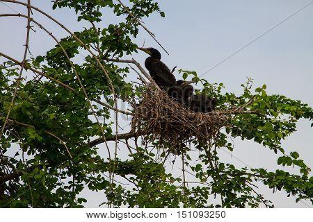 Little Cormorant, Javanese Cormorant (microcarbo Niger)