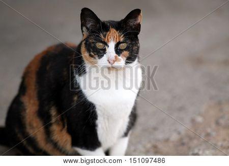 Calico cat looking at camera up close.