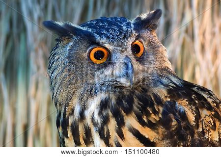 Owls staring with a large orange eyes.