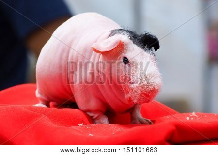 Hairless rat (guinea pig) standing on fabric background.
