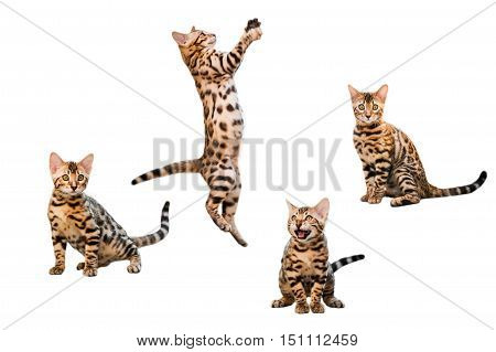 Bengal Kittens playing isolated on white background collection