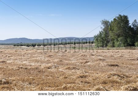 Barley field harvested with poplar grove at the background