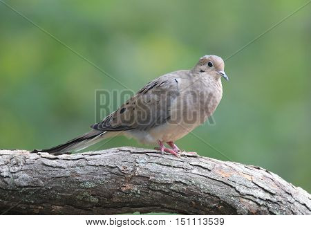 A mourning dove  (Zenaida macroura) perching on a branch.