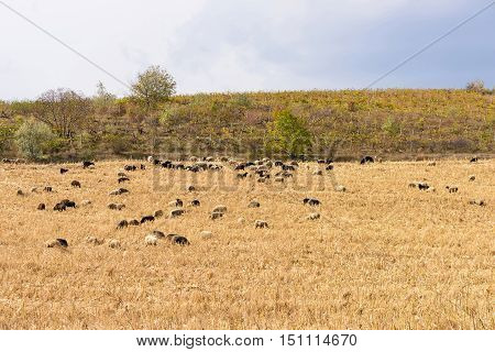 Herd of black and white sheeps on a corn field after harvest in autumn in Moldova