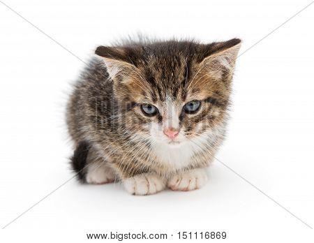 Sad small gray kitten isolated on white