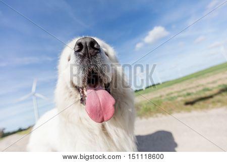 Funny dog portrait. Focus on a long tongue. Polish Tatra Sheepdog also known as Podhalan or Owczarek Podhalanski