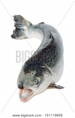 trout fish with open mouth isolated on a white background