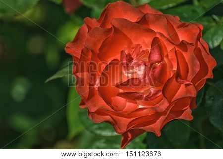 Bright red rose garden on a background of green leaves.