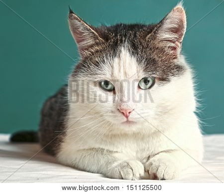 siberian tom cat close up portrait on blue wall background