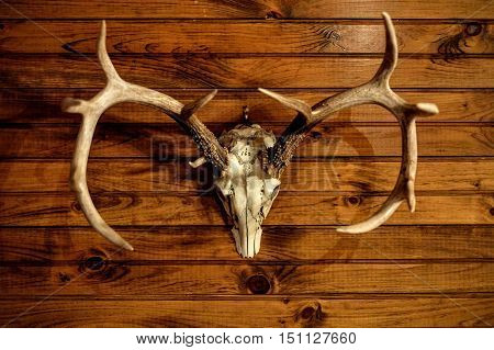 Taxidermy Skull and Antlers on Wood Wall