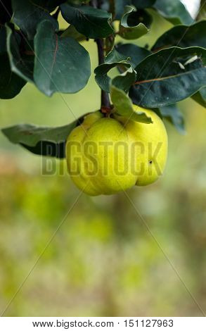 Yellow Ripe Quince On Branch
