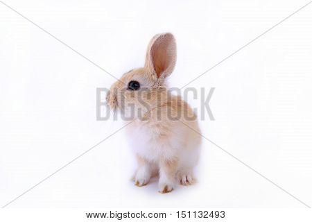 little dwarf rabbit on a white background