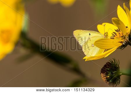 Clouded Sulphur Colias philodice feeding on nectar from a Compass Plant.