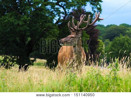 Red deer stag standing in a meadow