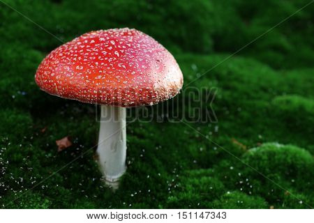 Fly agaric poisonous toadstool in forest in autumn