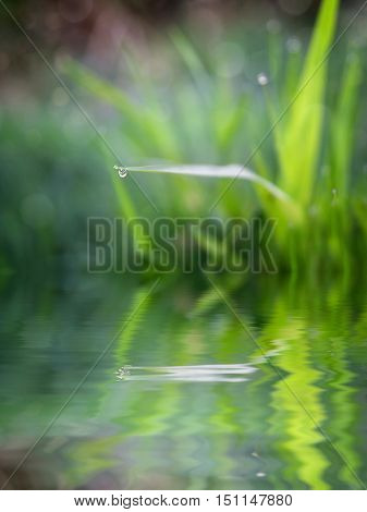 Natural water drops on fresh green grass with reflection in the water