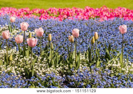 closeup of pink tulips and forget-me-not flowers field