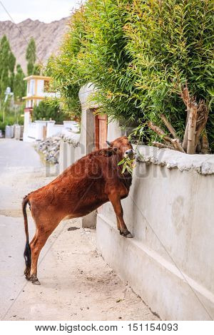 Cow is reaching for green tree branches on a street of Leh, India