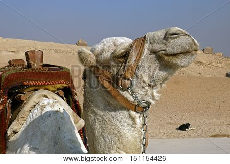 Beautiful view of a camel in Egypt.