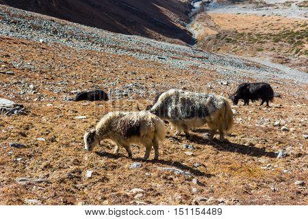 Yak herd grazing withered grass. Common sight along Annapurna trek in Nepal.