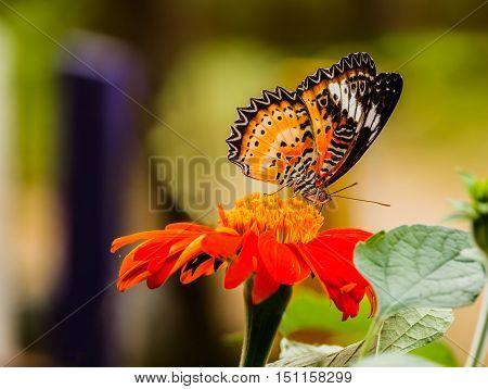 Beautiful Gulf Fritillary butterfly posed on a red flower feeding.