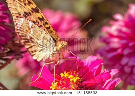 Beautiful Silver-washed fritillary(Argynnis anargyra) butterfly on a pink zinnia flower in a flower bed in the garden on a sunny autumn day macro. Photo toned. The background is blurred