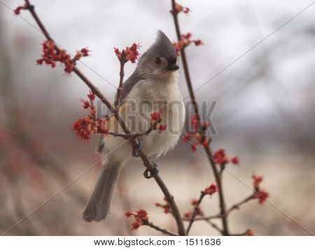 Tufted Titmouse (Baeolophus Bicolor)