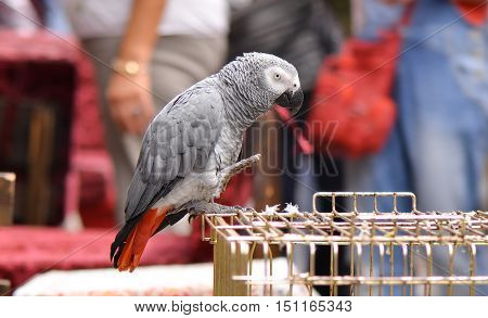 Congo African Grey Parrot standing on the cage (Psittacus erithacus erithacus)