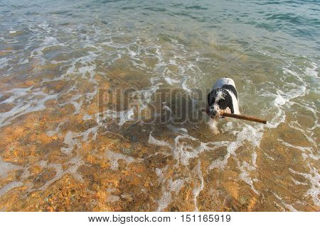 Dog playing with stick in the sea